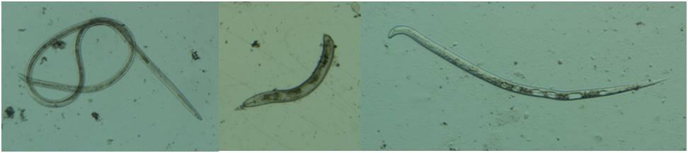 how to kill nematodes in soil